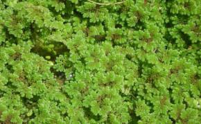 Bog Plants: Floating pond plant: Azolla