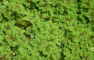 Bog Plants: Floating pond plant: Azolla
