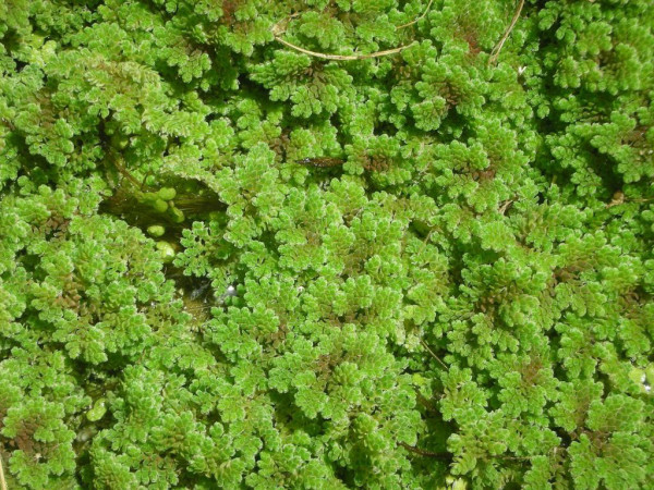 Bog plants floating pond plant azolla for Using pond water for plants
