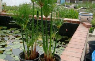 Bog plants: King Tut Papyrus