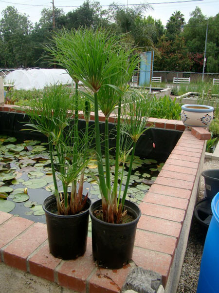 Bog Plants, King Tut Papyrus, Bog Plants for ponds, Aquatic Plan