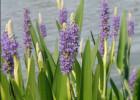 Are aquatic plants dangerous to Koi