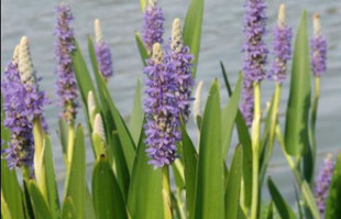 Bog Plants: Pickerel Rush