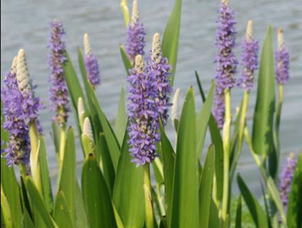 Bog plants pickerel rush for Pond with plants