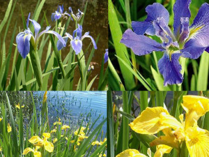 Water iris pond plants bog plant aquatic plants for sale for Pond fish and plants for sale
