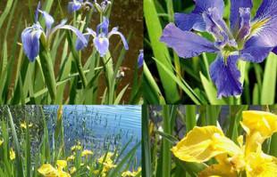 Bog Plants: Water Iris