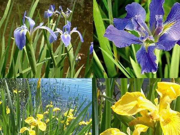 Bog plants water iris for Pond plants for sale