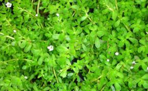 Bog Plants: Bacoba