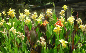 Bog Plants: Water Canna