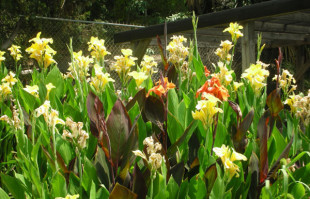 Bog Plants: Water Canna