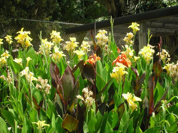 Bog Plants: Water Canna: Bog Plants For Sale: Water Canna: Pond Plants