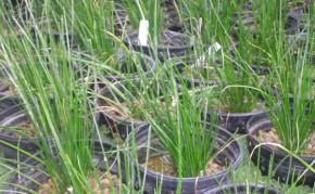 Bog Plants: Fairy lilies