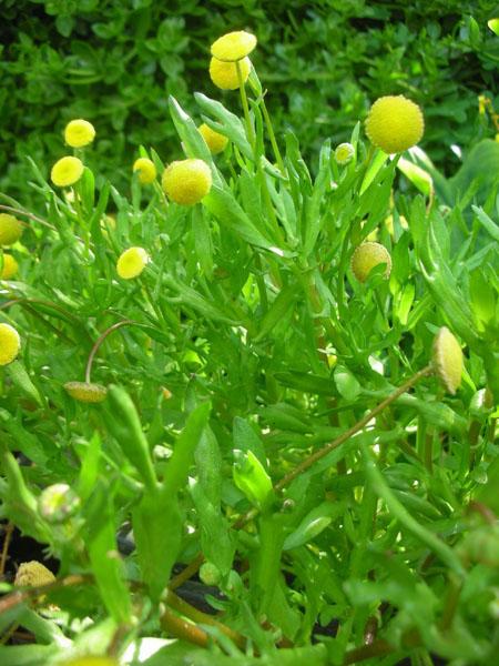 Bog Plants, Golden Button, Bog Plants for ponds, Aquatic Plants