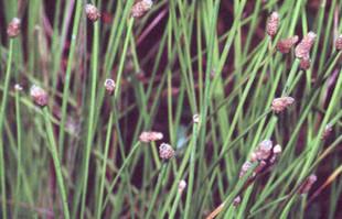 Bog Plants: Spike Rush