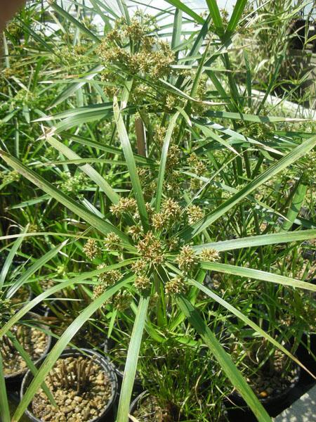 Bog Plants, Umbrella Palm, Bog Plants for ponds, Aquatic Plants
