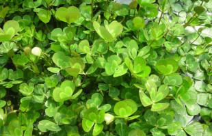 Bog plants: Water Clover