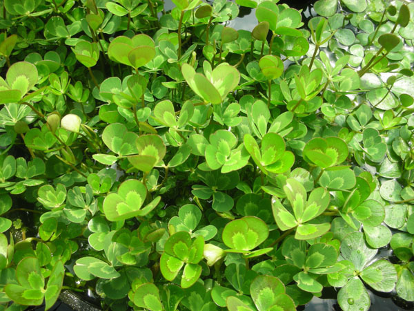 Bog Plants, Water Clover, Aquatic plants for sale