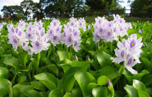 Aquatic plants: floating pond plant: Water Hyacinth