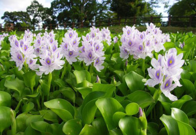Aquatic Plants Floating Pond Plant Water Hyacinth