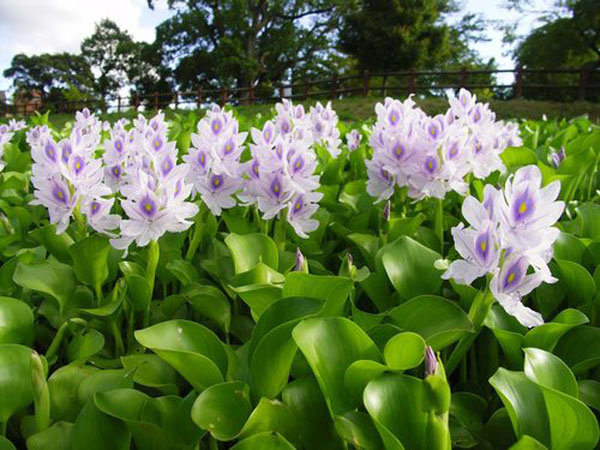 Aquatic plants floating pond plant water hyacinth for Water filtering plants for ponds