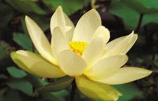 Aquatic Plants: Yellow Lotus: Lutea Lotus