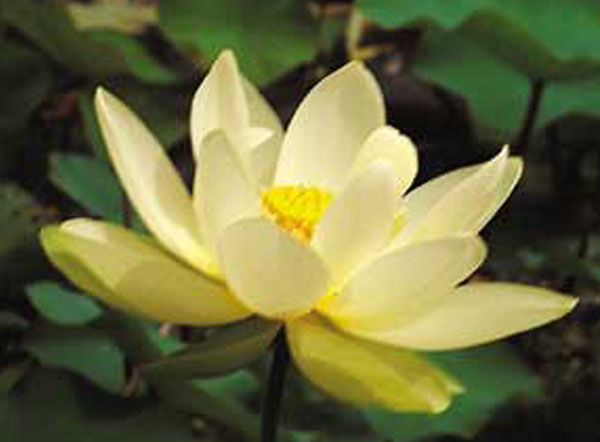 American Lotus, Lutea Lotus, Aquatic Lotus plant