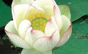 Aquatic Pond Plants: White Lotus: Chawan Basu