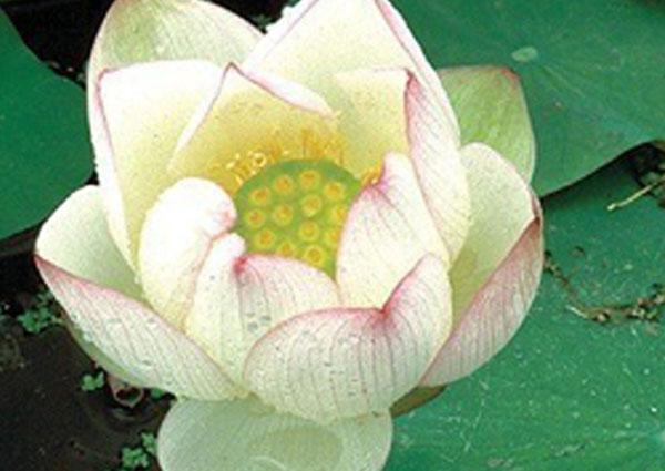 Chawan Basu Lotus, Lotus plant, lotus