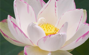 Aquatic Plants: White Lotus: Empress Lotus