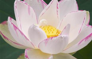 Aquatic Plants: White Lotus: Empress Lotus
