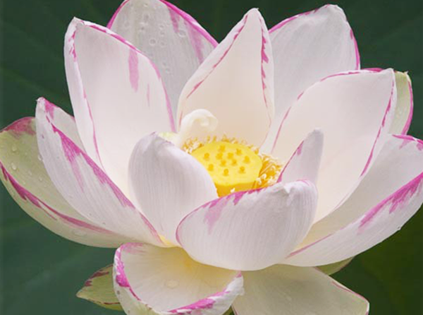 Empress_lotus,Nelumbo,Lotus,large-lotus