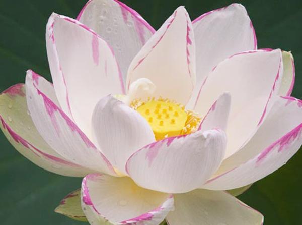 Empress_lotus,Nelumbo,Lotus,large-lotus