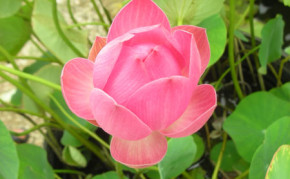 Aquatic Plants: Pink Lotus: Momo Botan