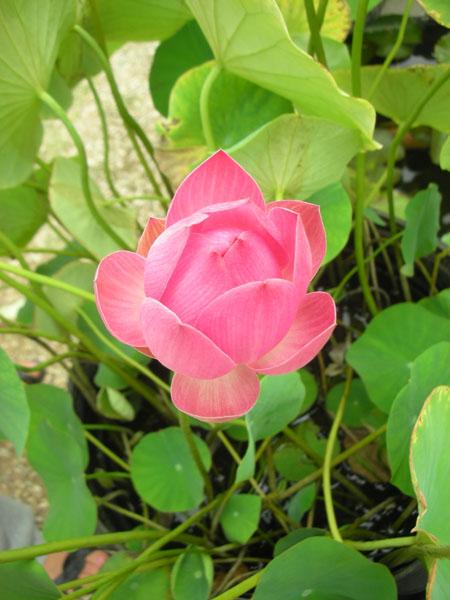 Momo Botan Lotus, Small Lotus, Lotus plant