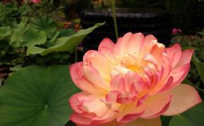 Aquatic Plants: Red Lotus: Mrs Slocum