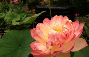 Aquatic Plants: Red Lotus: Mrs Slocum