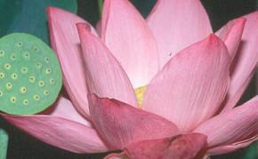 Aquatic Plants: Pink Lotus: Pink Angel