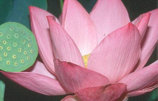 Aquatic Plants: Pink Lotus: Pink Angel
