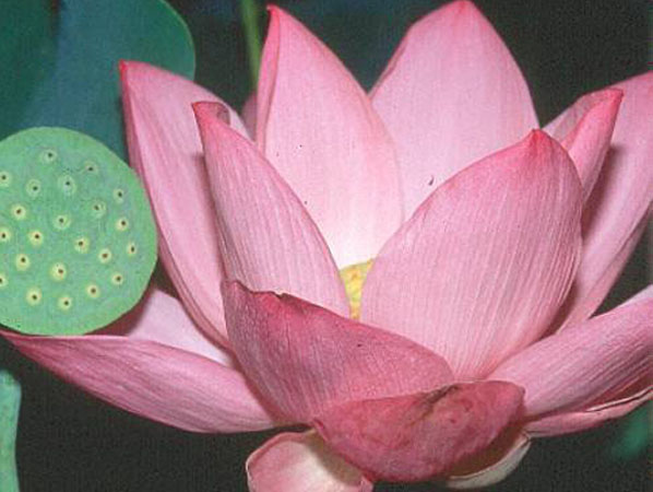 Aquatic plants pink lotus pink angel for Lotus plant for sale