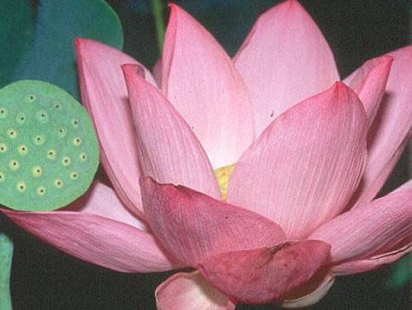 Pink Angel lotus, Pink lotus, lotus