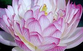 Aquatic Plants: White Lotus: Yulou Renzui