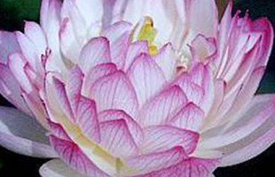 Aquatic Plants: White Lotus: Yulou Renzui