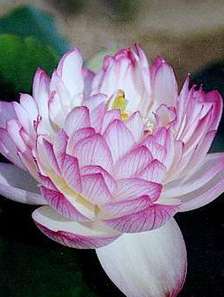 Yulou Renzui Lotus, Lotus plant, Pond lotus
