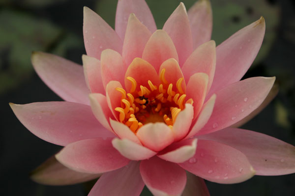 Colorado waterlily, Hardy waterlilies for ponds, Aquatic plants
