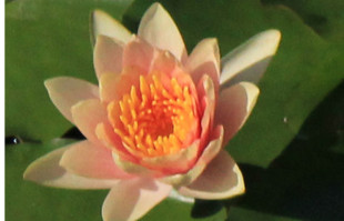 Aquatic plants: Orange Hardy water lilies: Comanche