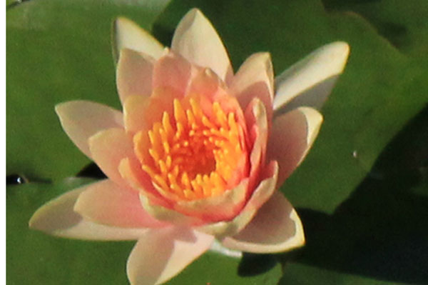 Comanche Hardy water lilies, water lilies for ponds