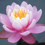 Pink Hardy Water Lilies