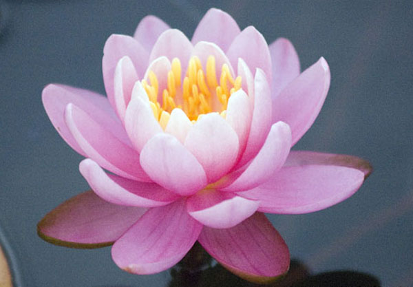 Firecrest Hardy Water lilies, Pink waterlilies, pond plants