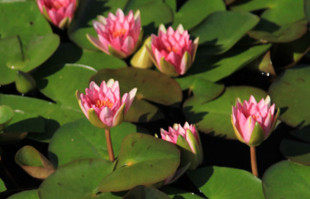 Aquatic plants: Hardy Water Lilies: Gloriosa