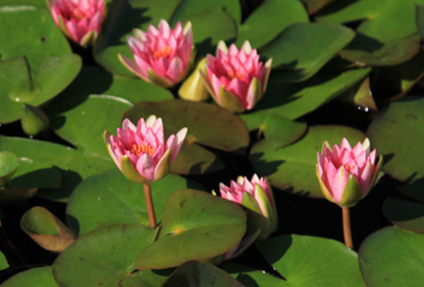 Gloriosa waterlily, Red Hardy water lilies, Water lilies for sal